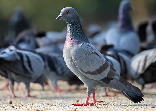 uzgajivaci-golubova-sinj